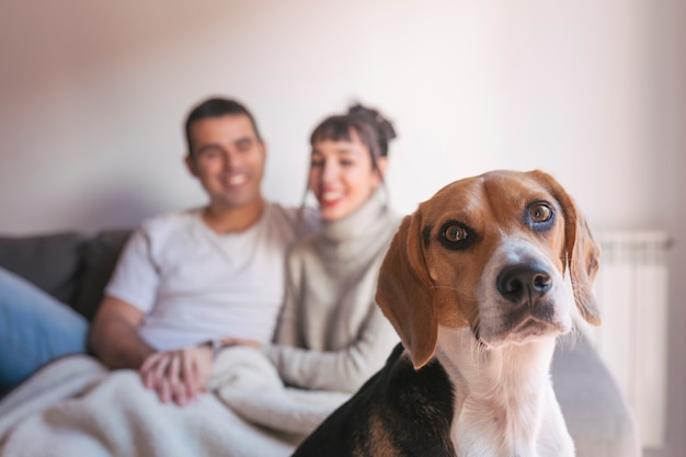 Young couple sitting on a grey sofa and having fun with their cute beagle dog. home, indoors