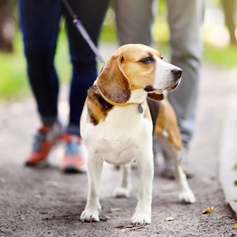 Young couple with beagle dog wearing in collar and leash walking in the summer park