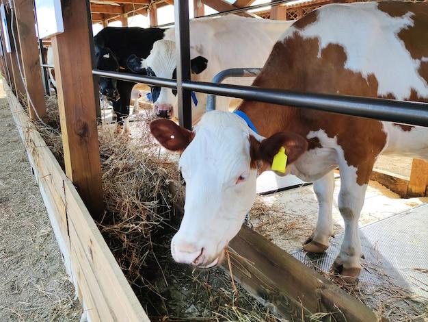 어린 암소 암소는 가축 우리에서 건초를 먹습니다. 농장에서 축산의 개념입니다. 현대적인 헛간에서 먹는 소. 가축 사육