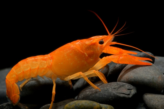 Young crayfish lobster with small rock.