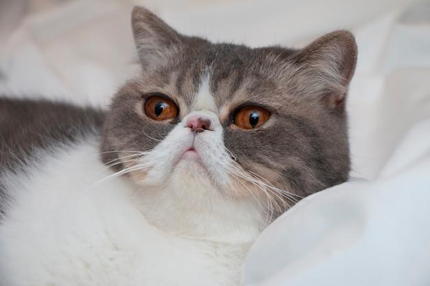 若いクレイジーショートヘアの猫や子猫は、大きな目のクローズアップを変な顔にします。