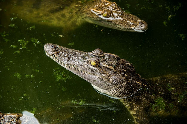 Young crocodile siamensis head is coming out of water