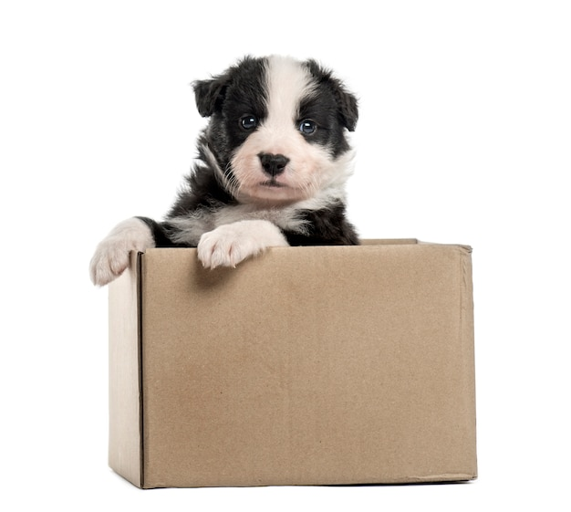 Молодой гибридный щенок, вылезающий из коробки, изолированные на белом фоне