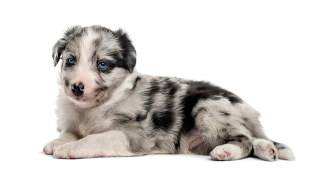 Молодой щенок гибрида, лежа на белом