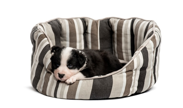 Молодой кроссбридный щенок спит в кроватке, изолированном на белом