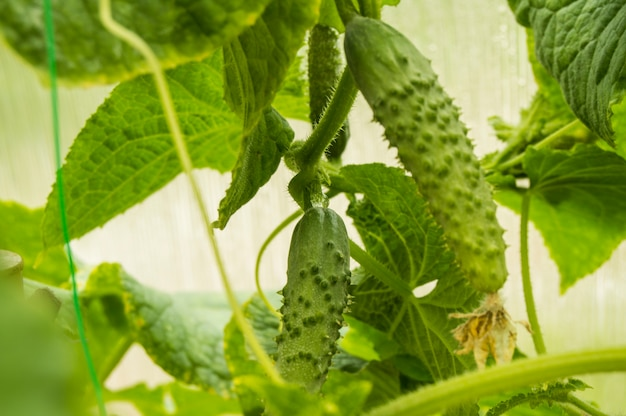 Young cucumber hanging on the plant, growing healthy vegetables in the greenhouse