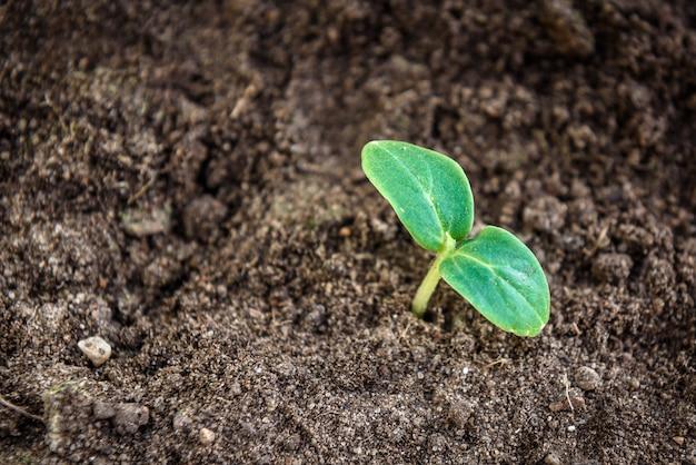 若いキュウリ植物。地面に小さな緑の苗