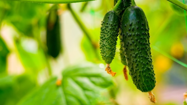 Young cucumbers on a bush in a greenhouse.