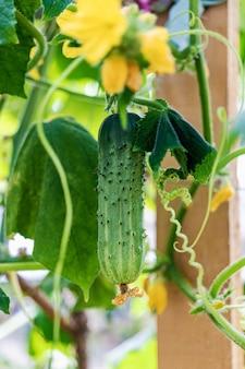 Молодые огурцы в саду крупным планом. сельское хозяйство. выращивание натуральных овощей.