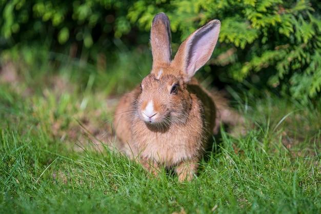 緑の草を食べる若いかわいいウサギ、クローズアップ。動物と自然の概念。キエフ、ウクライナ