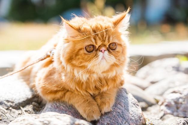 Портрет молодой милый красный персидский кот гуляет в парке