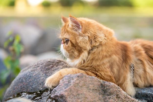 Портрет профиля молодой милый красный персидский кот гуляет в парке