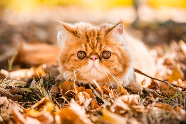 큰 오렌지색 둥근 눈을 가진 젊고 귀여운 붉은 페르시안 고양이는 가죽끈이 달린 가을 배경에서 마른 낙엽을 걷고 있습니다.
