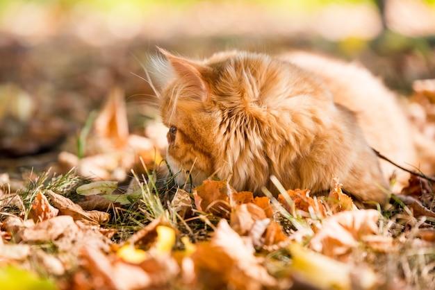큰 오렌지색 둥근 눈을 가진 젊고 귀여운 붉은 페르시아 고양이는 가죽끈이 달린 가을 배경에 떨어진 마른 잎을 걷고 있습니다.