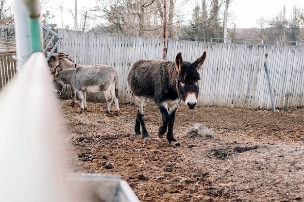 Young dark white donkey walks on the closed territory of the farm. the animal is on the family ranch. domestication of a wild mammal.
