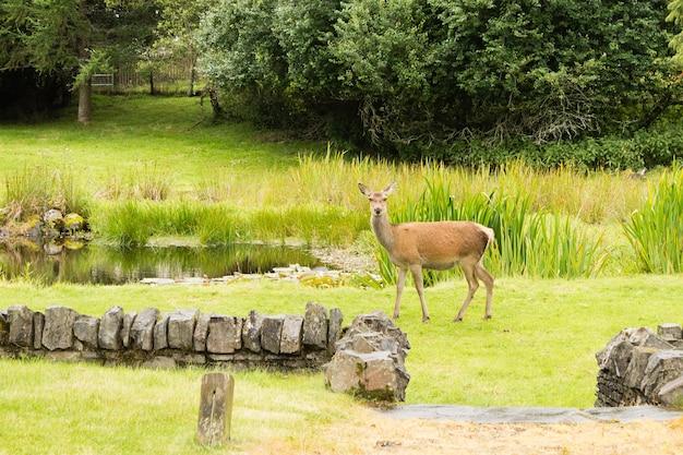 若い鹿がスコットランドの都市公園からクローズアップ。自然と野生生物