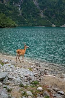 若い鹿は、ポーランドのハイタトラ国立公園の山の湖で水を飲みます