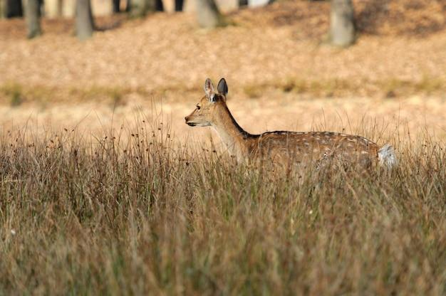 Молодой олень в поле. осенний день