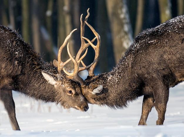 冬の森の若い鹿