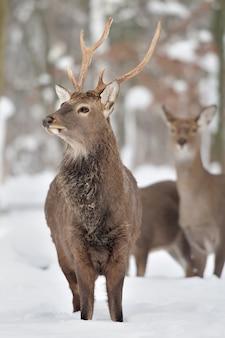 Молодой олень в зимнем лесу