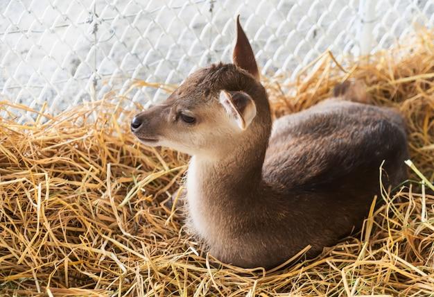 Молодой олень в зоопарке. красный олень в национальном парке.