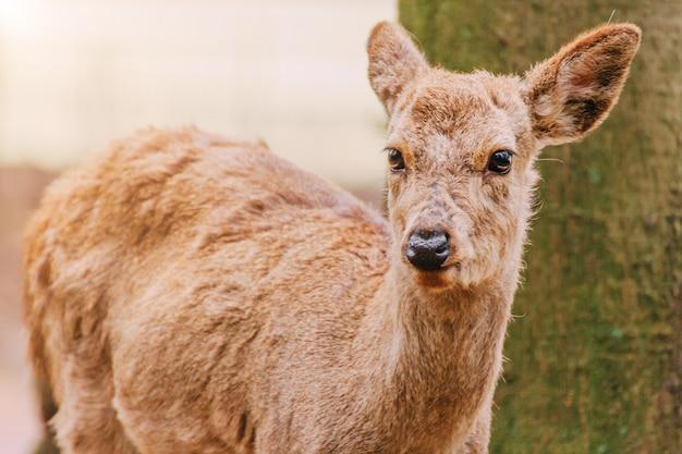 Young deer in nara park, japan. the deer, the symbol of the city of nara,