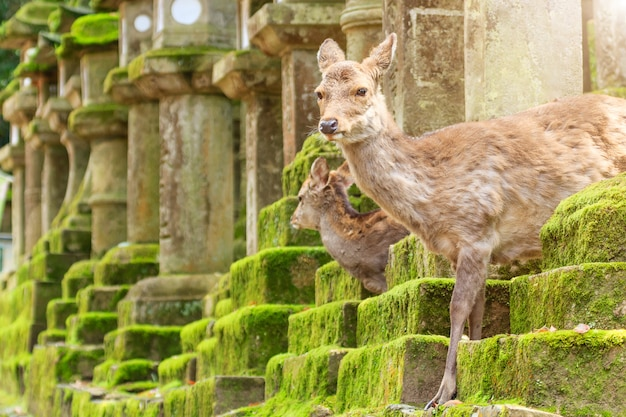 Young deer in nara park, japan. the deer, the symbol of the city of nara