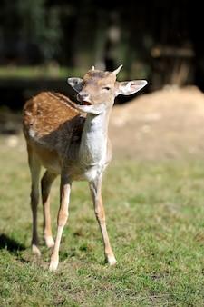 Молодой олень на осеннем лугу
