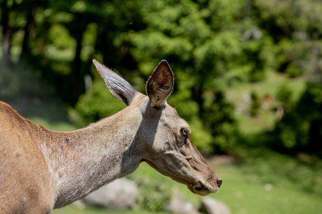 Young deer portrait. deer in nature scene. deer fawn portrait