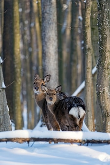 Young deer in the winter forest