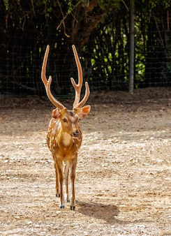 Young deer with beautiful horn