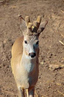 小さな角とふわふわの羊毛を持つ若い鹿。彼は立って遠くを見ます