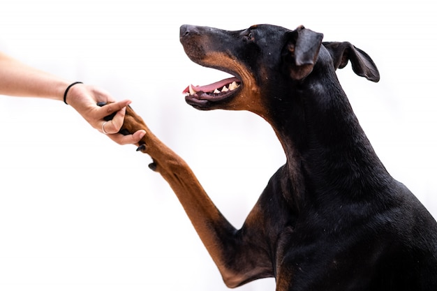 Young doberman dog isolated giving the paw to her owner