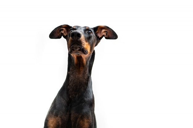 Young doberman dog isolated looking at its owner