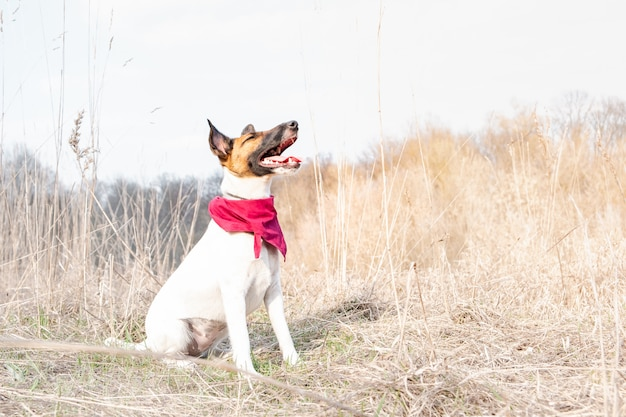 Young dog in bandana enjoying great sunny weather in the nature. smooth fox terrier dog sits with closed eyes among faded grass on a spring day