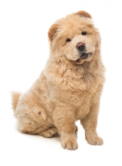 Young dog chow chow sitting looking forward