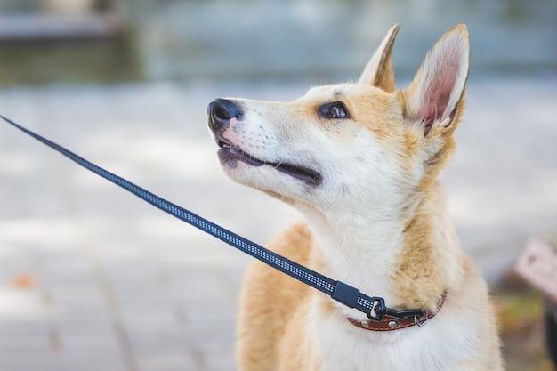 Молодая собака породы хаски (лайка) на поводке. портрет крупным планом собаки в profile_ Premium Фотографии