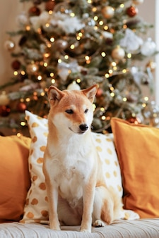 A young dog shiba inu is sitting on a gray sofa with colored decorative pillows
