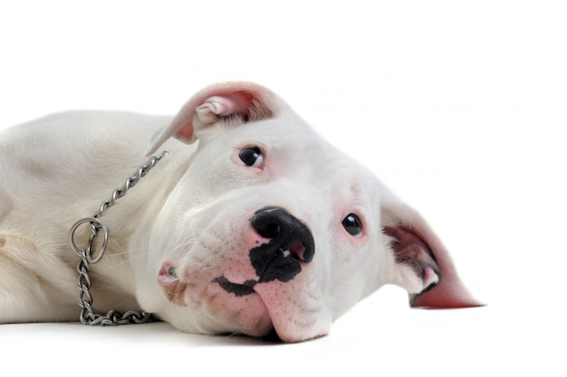 Young dogo argentino