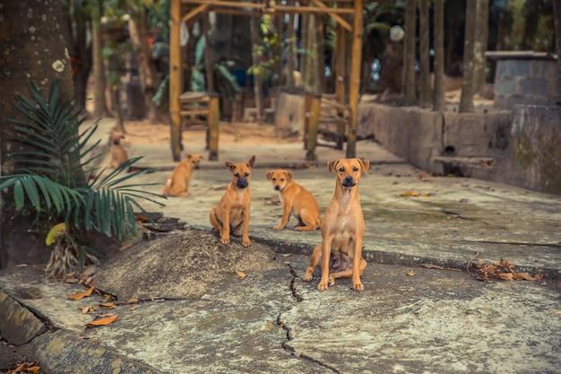 Молодые собаки и щенки на закате азиатской деревни.