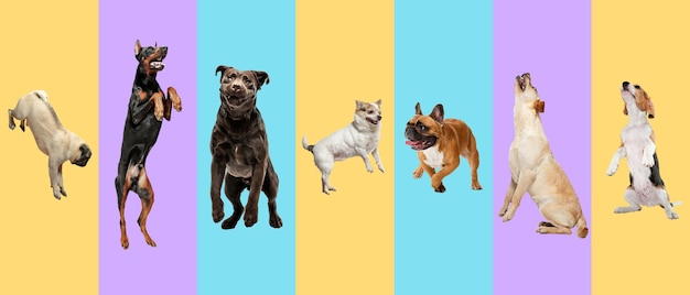 若い犬、ペットが高くジャンプし、飛んでいます。かわいいわんわんやペットは、色とりどりの背景に孤立して幸せそうに見えます。スタジオフォトショット。さまざまな品種の犬のクリエイティブなコラージュ。広告のチラシ。