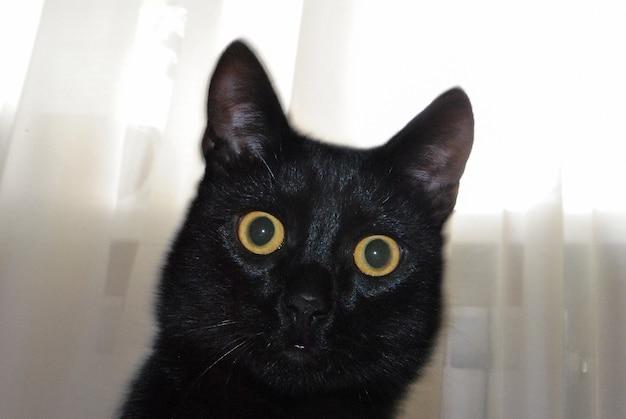 부드러운 짧은 머리와 긴 귀를 가진 젊은 국내 검은 고양이