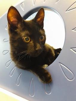 부드러운 짧은 머리를 가진 젊은 국내 검은 고양이