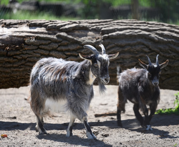 春の日に歩く若い国産ヤギ
