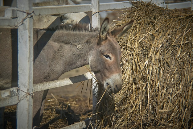 Young donkey trying to eat hay in a biological farm in italy.