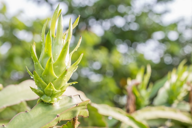 Young dragon fruit on branch Premium Photo