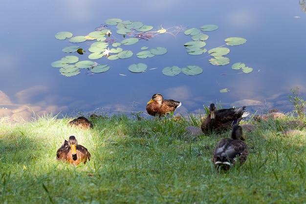 가을에 비행하기 전에 여름이 끝날 때 호수에서 휴식하는 동안 젊은 오리 프리미엄 사진