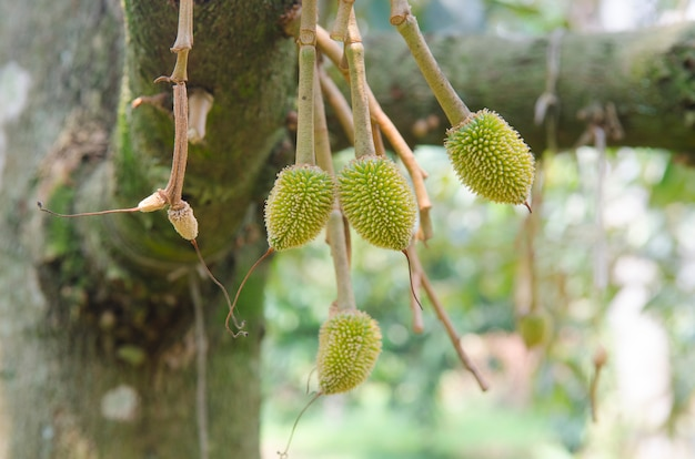 Young durian on its tree in the orchard.