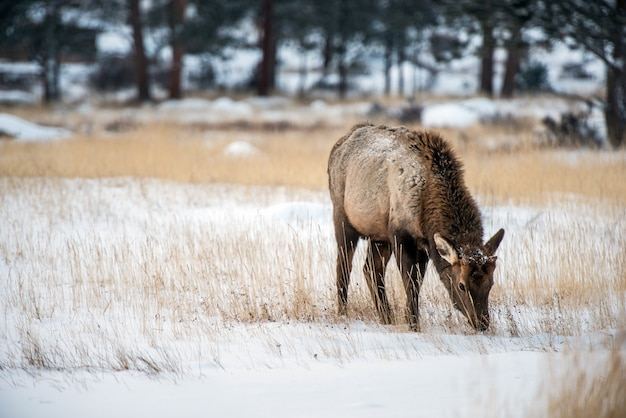 Young elk in winter