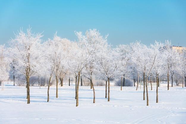 夜の冷たい霧の後、都市公園の霜と空の明るい太陽に覆われた若いニレとシナノキの木。